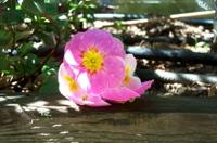 Pink_primrose