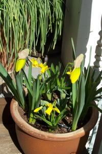 Pot_o_daffodil_2