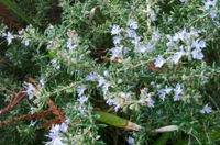 Rosemary_bloom