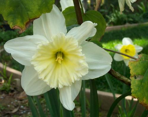 Yellowwhite_daffodil_2